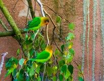两对fischers爱情鸟坐树枝从非洲的一起,热带和五颜六色的小鹦鹉,普遍的宠物  免版税库存图片