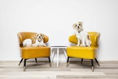 两小犬座坐扶手椅子 免版税库存图片