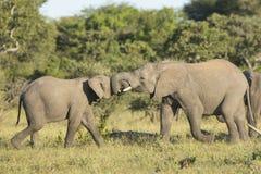 两少年非洲大象(非洲象属africana)戏剧战斗 免版税库存照片