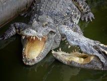 两巨型的盐水鳄鱼 库存图片