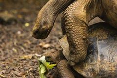 两巨型草龟联接 库存照片