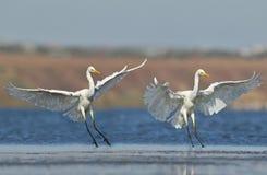 两巨大白色在水的苍鹭着陆 免版税库存图片