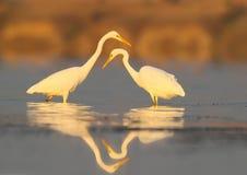 两巨大白色苍鹭水清早 库存图片