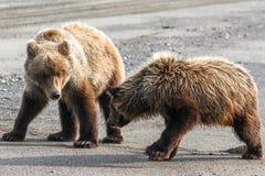 两布朗北美灰熊使用在海滩的Cub 图库摄影