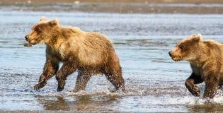 两布朗北美灰熊跑在小河的Cub 免版税库存图片