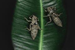 两干燥和被放弃的蜻蜓茧坐在黑背景的绿色叶子浮出水面 库存照片