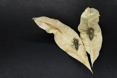 两干燥和被放弃的蜻蜓茧坐黑背景表面上的干燥黄色叶子 库存图片