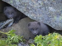 两年轻嬉戏的白狐崽狐狸Alopex雷鸟属beringensis好奇看从他们的在石头下的穴 免版税库存照片