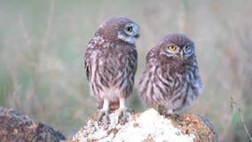 两年轻小猫头鹰雅典娜小猫头鹰在石头站立并且看  股票视频