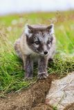 两幼小嬉戏的白狐崽在冰岛 免版税库存图片