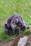 两幼小嬉戏的白狐崽在冰岛 免版税图库摄影