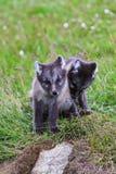 两幼小嬉戏的白狐崽在冰岛 库存图片
