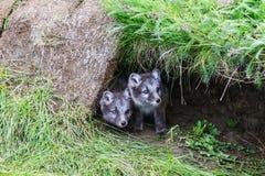 两幼小嬉戏的白狐崽在冰岛 图库摄影