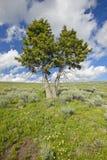 两座树、春天花和山在百年谷在Lakeview, MT附近 免版税库存图片