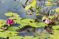 两开花在水表面上的桃红色莲花 库存照片