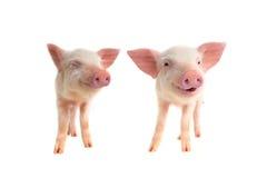 两微笑猪 免版税库存照片