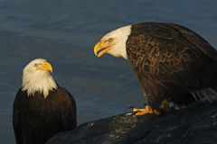 两成人秃头老鹰乐队Haliaeetus leucocephalus图象 免版税库存图片