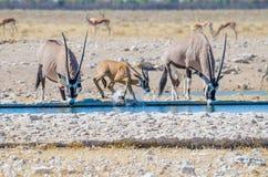 两成人羚羊属或大羚羊和一年轻一个飞溅用水的在水坑, Etosha NP,纳米比亚,非洲 库存图片