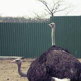 两成人驼鸟在动物园居住 库存照片