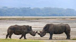 两战斗互相的犀牛 肯尼亚 国家公园 闹事 免版税图库摄影