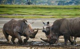 两战斗互相的犀牛 肯尼亚 国家公园 闹事 免版税库存图片