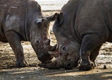 两战斗互相的犀牛 肯尼亚 国家公园 闹事 图库摄影