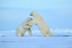 两战斗在arctict斯瓦尔巴特群岛的流冰的北极熊 图库摄影