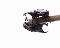两战斗的甲虫(犀牛甲虫)在分支 库存图片