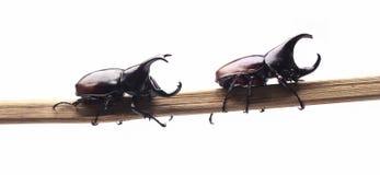 两战斗的甲虫(犀牛甲虫)在分支 库存照片