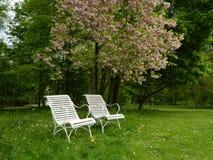 两把白色椅子在樱花公园 免版税库存照片