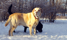 两拉布拉多猎犬 图库摄影