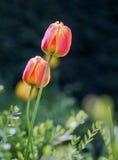 两挺直桃子和桃红色郁金香有自然本底 免版税库存图片