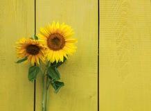 两放置在黄色木墙壁的向日葵的明亮的花 库存图片