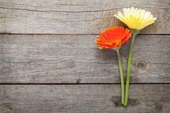 两朵五颜六色的大丁草花 库存图片
