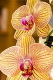 两朵兰花开花 免版税库存照片