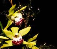 两朵兰花花绿色 免版税库存照片