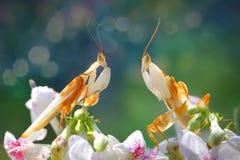两朵兰花螳螂面对在花 免版税库存图片