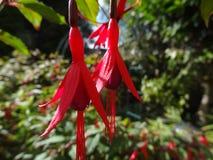 两朵可爱的红色花 免版税图库摄影