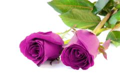 两朵在白色背景的紫色玫瑰孤立 免版税图库摄影