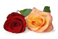 两朵在白色背景隔绝的五颜六色的玫瑰蔷薇科,包括裁减路线,不用树荫 库存图片