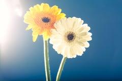 两朵大丁草雏菊,反对光,蓝色背景 免版税库存照片