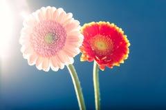 两朵大丁草雏菊,反对光,蓝色背景 免版税图库摄影