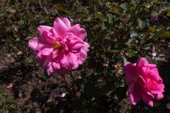 两朵大桃红色玫瑰在庭院里 库存照片