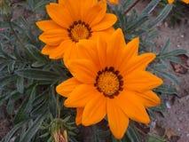 两朵大橙色花 库存照片