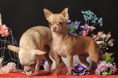 两朵奇瓦瓦狗和花在演播室 图库摄影