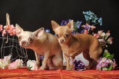 两朵奇瓦瓦狗和花在演播室 库存照片