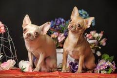 两朵奇瓦瓦狗和花在演播室 免版税库存照片