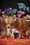 两朵奇瓦瓦狗和花在演播室 免版税库存图片