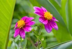 两朵开花的桃红色庭院花 免版税库存照片