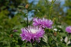 两朵开花的淡紫色花在庭院里富有绿色词根在背景中 库存照片